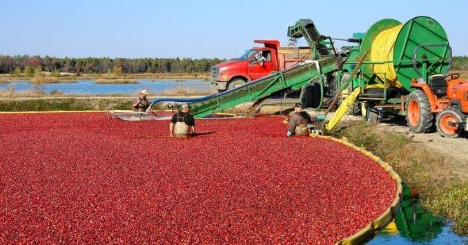 Bog for Cranberry Harvest